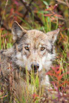 beautiful-wildlife:Wolf Eyesby Patrick Endres