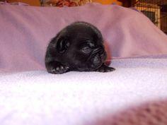 11 days old French Bulldog Puppy