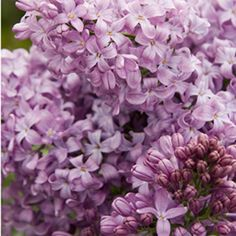 Old-fashioned lilacs grow best in cooler areas, but now there is a lilac for warm regions too. The Lavender lady Lilac has been specially bred to thrive in area Garden Shrubs, Flowering Shrubs, Garden Plants, Orchids Garden, Flower Gardening, House Plants, Planting Flowers, Lavender Flowers, Spring Flowers