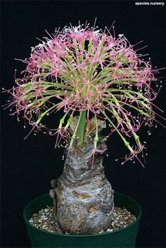 Desert Rose Plant - How to Grow Care - Adenium Weird Plants, Unusual Plants, Rare Plants, Exotic Plants, Cool Plants, Tropical Plants, Succulent Gardening, Cacti And Succulents, Planting Succulents