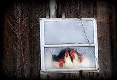 chickens & frosty window