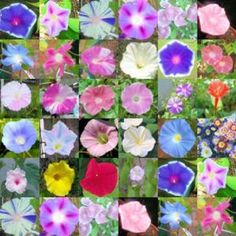 MORNING GLORY, many different colors including varieties: Heavenly Blue, Scarlet O'Hara, and Moonflower. Morning Glory Vine, Morning Glory Flowers, Morning Glories, Mailbox Garden, Lawn And Garden, My Flower, Beautiful Flowers, Climbing Vines, Flowering Vines