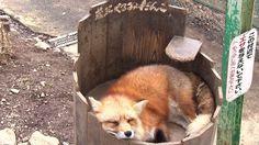 宮城蔵王キツネ村 cute animal video of a ZAO fox .relaxation video かわいい動物