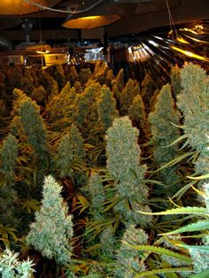 HUGE cannabis buds in an indoor grow room! www.irierebel.com