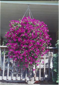 Wave petunias are great for hanging pots. Beautiful!