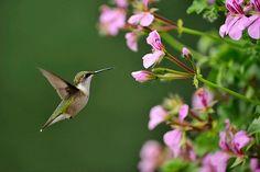 Ruby throated hummingbird (Archilochus colubris) Nectaring geranium flowers on residential deck., Greater Sudbury (Lively), Ontario, Canada