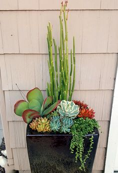diy cuadernos So much dramatic appeal is packed into Altman team member Justin Henlines planter. Between Sedum adolphii Firestorm and Kalanchoe luciae (flapjacks) is the absolutely darling Echeveria Imbricata variegata. Succulent Landscaping, Succulent Gardening, Succulent Pots, Cacti And Succulents, Planting Succulents, Planting Flowers, Potted Plants, Succulents In Containers, Container Plants