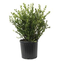 Wintergreen Boxwood, Live Shrub Plant, Glossy Dark Green - The Home Depot Farmhouse Landscaping, Small Backyard Landscaping, Landscaping Plants, Landscaping Ideas, Backyard Patio, Korean Boxwood, Japanese Boxwood, Evergreen Bush, Evergreen Shrubs