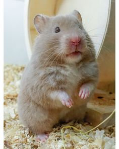 Teddy Hamster, Bear Hamster, Animals And Pets, Funny Animals, Cute Animals, Grey Teddy Bear, Funny Hamsters, Syrian Hamster, Guinea Pigs