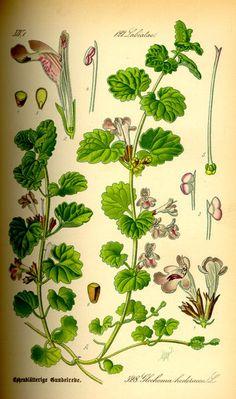 Green Man Ramblings: Ground Ivy