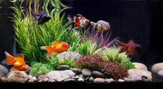 gold fish tank ideas / gold fish tank - gold fish tank ideas - gold fish tank goldfish - gold fish tank diy - gold fish tank set up - gold fish tank ideas aquarium - gold fish tank ideas diy - gold fish tank ideas bowls Planted Aquarium, 40 Gallon Aquarium, Goldfish Aquarium, Goldfish Tank, Aquarium Aquascape, Saltwater Aquarium, Cheap Fish Tanks, Unique Fish Tanks, Cool Fish Tanks