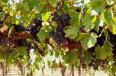 Wine Grapes in Barossa valley, Australia Australia Honeymoon, Wine Vine, Top Honeymoon Destinations, Grape Arbor, Farm Gardens, South Australia, Nice View, Wine Recipes, Vines