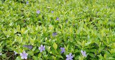 Bodendecker sind wichtige Pflanzen im pflegeleichten Garten. Aber sie unterdrücken das Unkraut nur dann dauerhaft, wenn sie auch im Winter Blätter