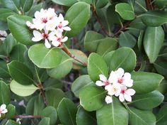 Rhaphiolepis umbellata - Yedda Hawthorn, Round-leaf Hawthorn