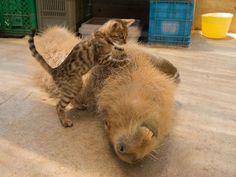 カピバラは温厚で、のんびりした性格も魅力ですが、そのため他の動物からも好かれやすいようです。