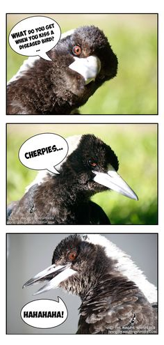 The Magpie Whisperer has great respect and understanding for Magpies. She has earned the trust of these wild birds, whilst forming connections with them. Animal Jokes, Funny Animals, Cute Animals, Funny Birds, Cute Birds, 70d, Crazy Bird, Australian Birds, Magpie