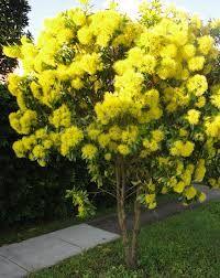7 best yellow flowering australian native treesbushesshrubs images image result for golden penda yellow flowering plants lomandra australian native garden trees mightylinksfo
