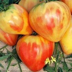 Orange Russian heirloom tomato