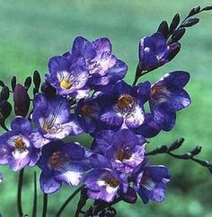 Freesia Single Blue