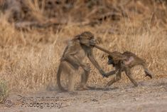 Baboon youngsters tail biting as theyplay fight Play Fighting, Okavango Delta, Baboon, Planet Earth, Monkeys, Wildlife Photography, Fine Art Paper, Kangaroo, Safari