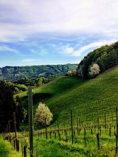 View into the vineyard. #austria #vineyard #wine #visitaustria