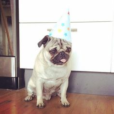 Birthday Pug #puglife