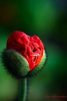 Red and Green / Poppy bud Happy Flowers, Red Flowers, Pretty Flowers, Macro Flower, Unusual Plants, Flower Fashion, Red Poppies, Flower Photos, Amazing Flowers