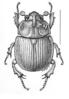 Bolboceras.thoracicornis.jpg (420×600)