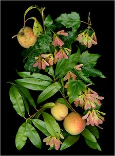 Peaches and Acer, Vertical - Edibles, Page 2 - Scanner Photography By Ellen Hoverkamp