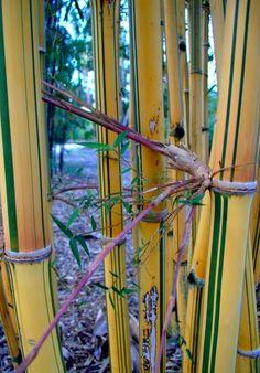 Bambusa pervariabilis viridistriata