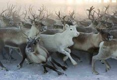 Arctic inhabitants: The are white reindeer is sacred to the indigenous Sami people