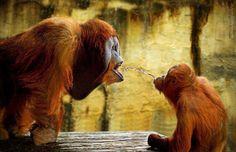 #chimpanzee #monkey #tiempocompartido #animals http://www.cancelartiemposcompartidos.com/blog/51-mayan-palace-tiempo-compartido-fraude/