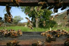 Local Sonoma County Honey Bees and Hives Information About Bees, Bee Pictures, Bee Photo, Bee Sting, Busy Bee, Bees Knees, Bee Keeping, Northern California, Bird Feeders