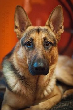 German Shepherd Dog Beautiful intelligent obedient loyal and even though many are used as service dogs etc they are good pets as well