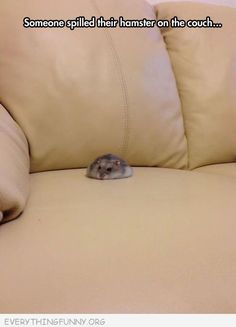 funny captin someone spilled their hamster on the couch