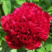 Hollingsworth Peonies - Red Grace