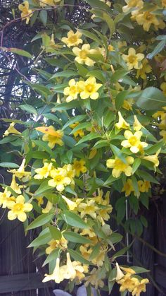 Carolina Jessamine vine -- it has the most heavenly scent, can trail 30 feet down from branches of tall trees but sadly is quite poisonous. You can't have if you have pets or keep bees for honey from its flowers is also poisonous. I discovered it right before I was set to move back to Michigan.