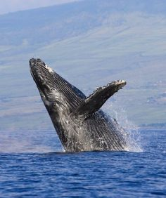Blue Whales can reach lengths of 100' and weigh up to 400,000 pounds. Their tongues alone weigh as much as an elephant. Blue whales are the largest animals in the world.