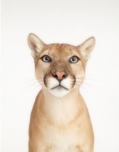 Cougar.