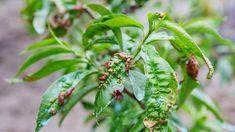 Jak bránit broskvoně před napadením kadeřavostí? | Dům a zahrada - bydlení je hra Agriculture Biologique, Hibiscus, Plant Leaves, Vegetables, Questions, Blog, Gardens, Falling Leaves, Apricot Tree