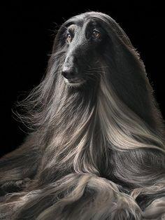 afghan hound....beautiful
