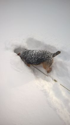 In true TERRIER fashion, Welsh Terrier Kiara LOVES to burrow under the snow looking for vermin. Thankfully she hasn't ever found any! Welsh Terrier, Airedale Terrier, Fox Terrier, Terriers, Pure Happiness, Annie, Delivery, Snow, Pure Products