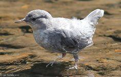 northwestern_lake_american_dipper_fledgling_08-22-11.jpg (1000×640)