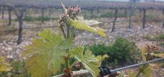 Despierta el viñedo de La Mancha @vinodelamancha