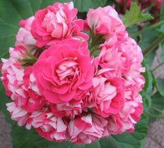 Gerânio – Como Cuidar, Podar, Adubar e Manter Florido