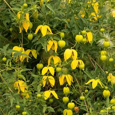 Clematis tangutica golden clematis Position: full sun or partial shade Soil: fertile, well-drained, neutral soil Rate of growth: fast-growing Flowering period: July to October Flower colour: yellow Other features: fluffy seedheads Hardiness: fully hardy