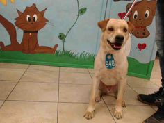 ~~DIES FRI., 06/30/17~VIDEO ADDED~ needs an adoption hold by 5:30pm OR a rescue group to claim by 5:50pm FRIDAY 6/30. HOUSTON- -WILL - ID#A486818 My name is WILL I am a neutered male, tan Setter/retrieve. The shelter staff think I am about 2 years and 9 months old. Harris County Public Health and Environmental Services. https://www.facebook.com/harriscountyanimalshelterpets/videos/1570432073020585/