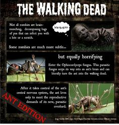 Think zombies aren't real? Think again. Learn about the ants turned zombie (and it's all thanks to a little fungus)... #science infographic