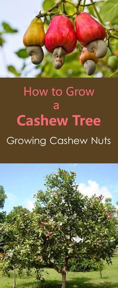 http://www.freecycleusa.com/  how to grow cashew tree