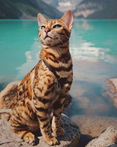 July 19 2017 at All Cat Breeds, Cute Cat Breeds, Cute Baby Cats, Cute Cats And Kittens, Pretty Cats, Beautiful Cats, Charcoal Bengal, Grand Chat, Domestic Cat Breeds
